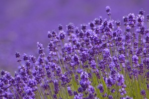 cropped-lavender.jpg