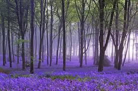 lavendar photo